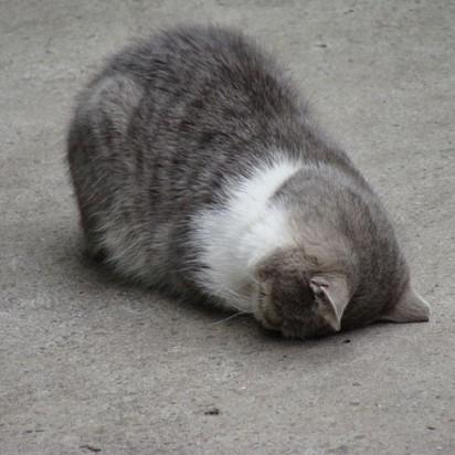 サバトラ白猫屋外