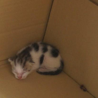 とび三毛猫子猫ダンボール