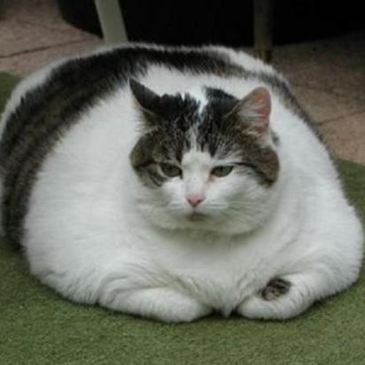 黒白猫デブ