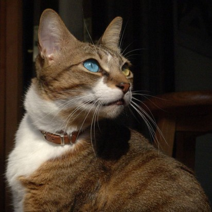キジトラ白猫マッドアイ