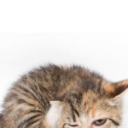 キジトラ白猫子猫