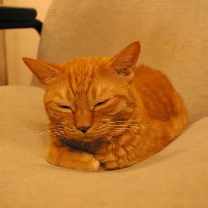 茶トラ猫昼寝