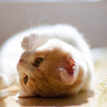 茶トラ白猫子