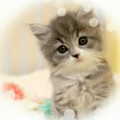 サバトラ白猫子猫