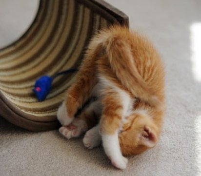 茶トラ白猫子猫屋内
