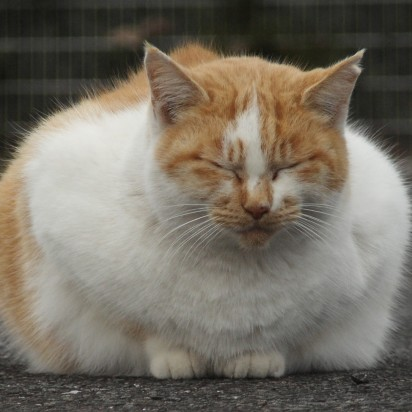 茶トラ白猫デブ屋外