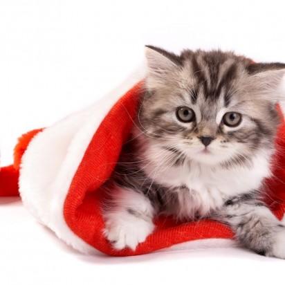 キジトラ白猫子猫サンタ