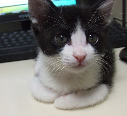 ハチワレ猫子猫パソコン