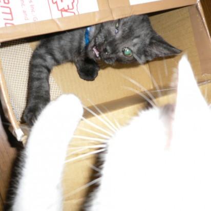 白猫サバトラ猫ダンボール