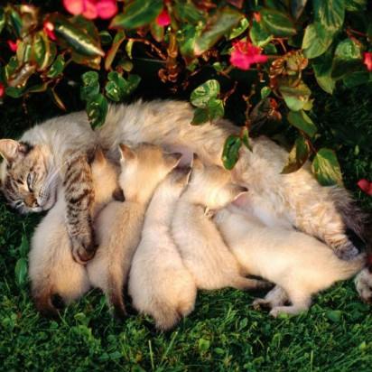 キジトラ猫ポインテッド猫子猫お乳