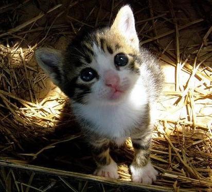 キジトラ白猫子猫屋外