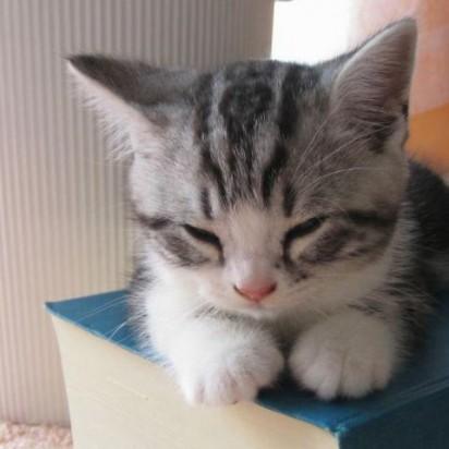 サバトラ白猫子猫昼寝