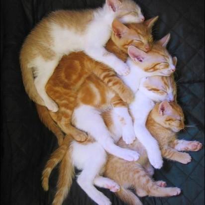 茶トラ猫茶トラ白猫子猫昼寝