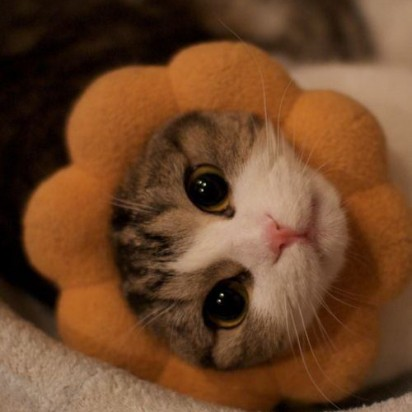 キジトラ白猫子猫ポンデライオン