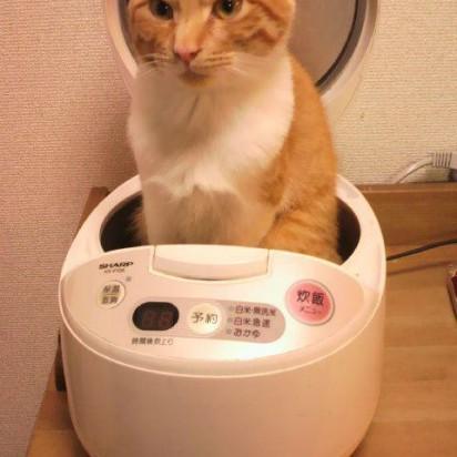 茶トラ白猫炊飯器