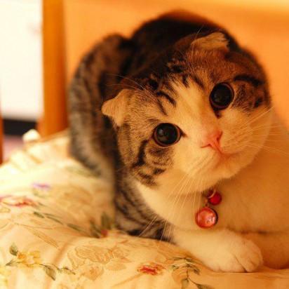 キジトラ白猫子猫布団