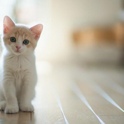 茶トラ白猫子猫フローリング