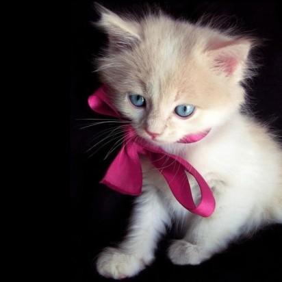 白猫子猫リボン