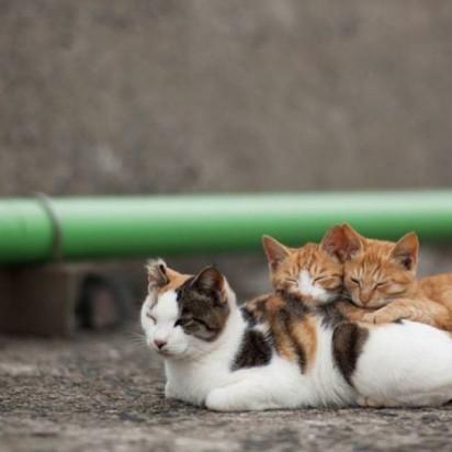 三毛猫茶トラ白猫茶トラ猫昼寝