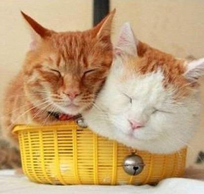 茶トラ猫茶トラ白猫カゴ昼寝