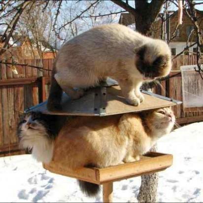ポインテッド猫茶トラ白猫キジトラ猫雪