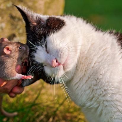 ハチワレ猫ハムスター