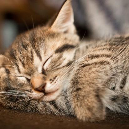 キジトラ猫子猫昼寝