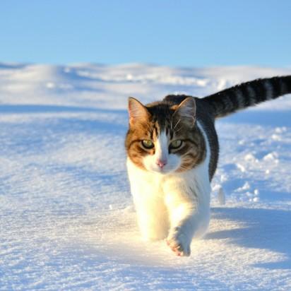 キジトラ白猫雪