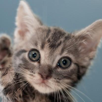 サバトラ猫子猫