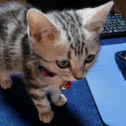 サバトラ猫子猫パソコン