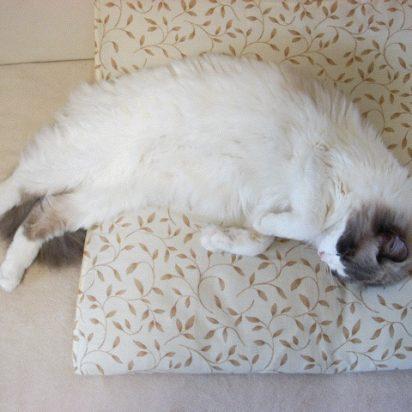灰白猫昼寝座布団