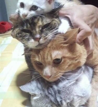 キジトラ猫茶トラ猫サバトラ猫子猫