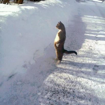 キジトラ白猫仁王立ち雪
