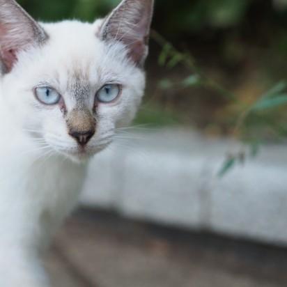 ポインテッド猫屋外