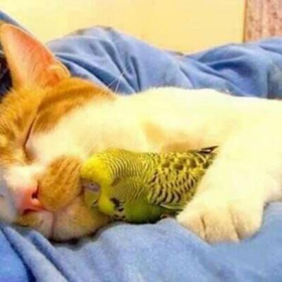 茶トラ白猫インコ昼寝