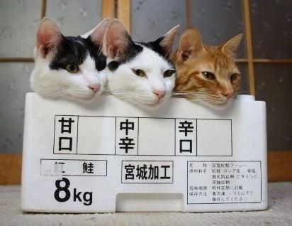 ハチワレ猫茶トラ猫箱