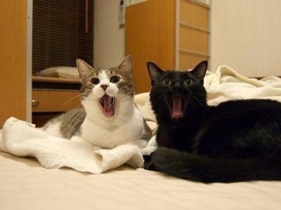 キジトラ白猫黒猫あくび