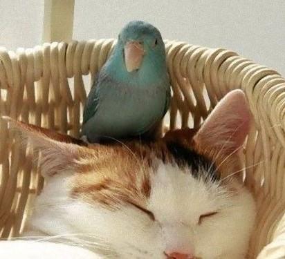 三毛猫昼寝インコ