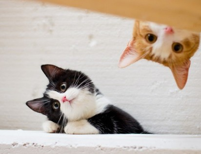 ハチワレ猫茶トラ白猫子猫