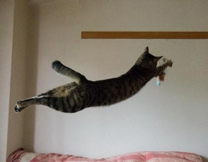 キジトラ猫ジャンプ