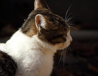 キジトラ白猫屋外