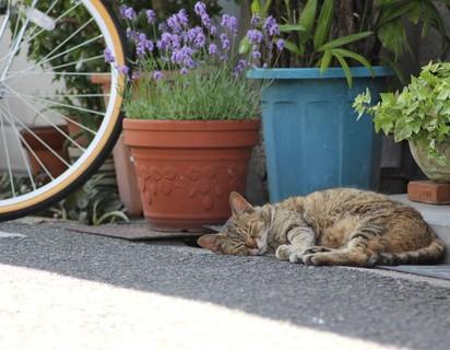 キジトラ猫昼寝屋外