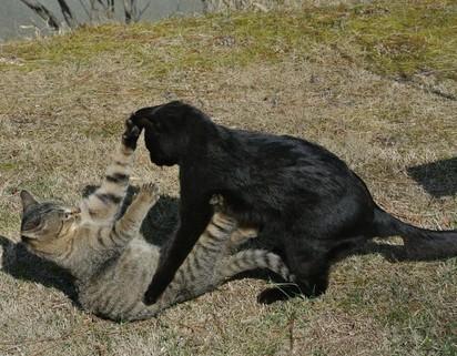 黒猫キジトラ猫子猫喧嘩