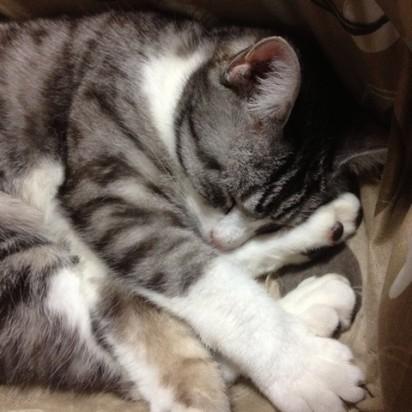サビトラ白猫昼寝屋内