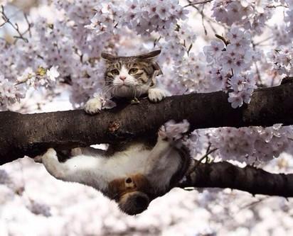 キジトラ白猫桜