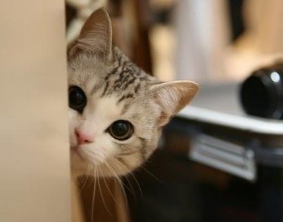サビトラ白猫子猫屋内