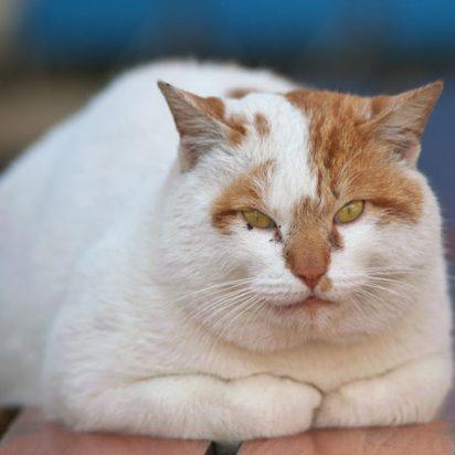 茶トラ白猫デブ