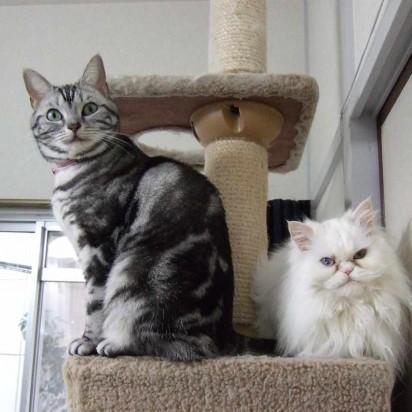 サバトラ猫白猫キャットタワー