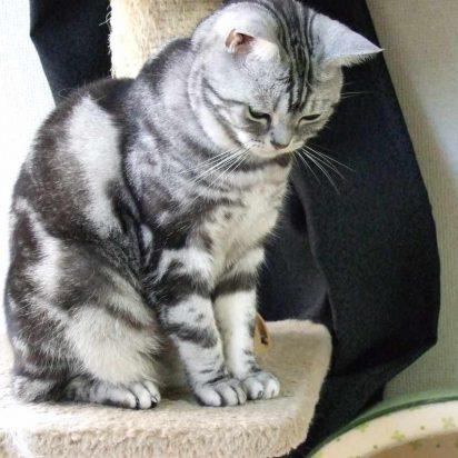 サバトラ猫キャットタワー
