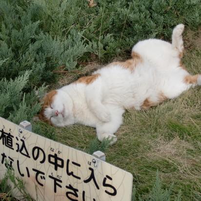 茶トラ白猫芝生